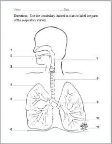 labeled diagram 3rd grade respiratory system respiratory system and worksheets