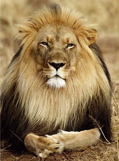 top  strange lion facts howstuffworks