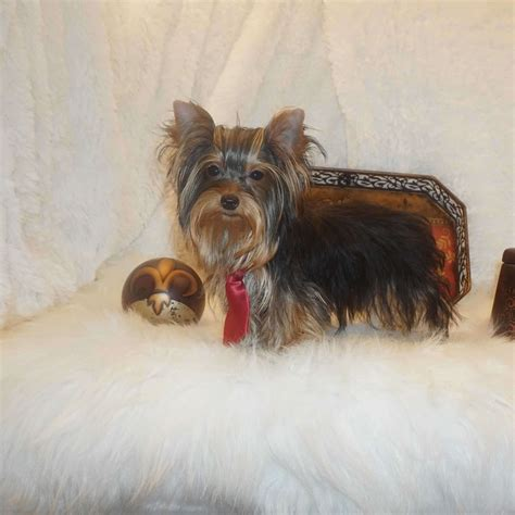 yorkie buy yorkies for sale buy tiny terrier puppy brad