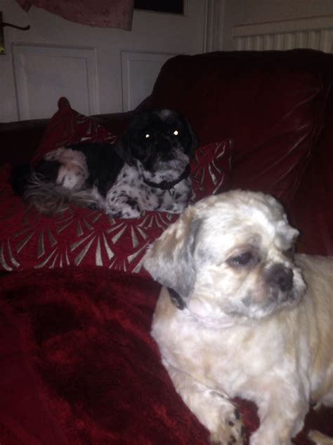 shih tzu for adoption uk two shih tzu dogs for adoption due to bereavement southport merseyside pets4homes