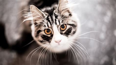 wallpaper chat hd cats funny face full hd desktop wallpapers 1080p