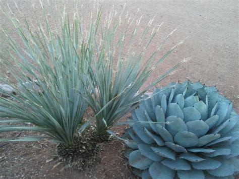 ideal desert landscaping plants  home walsall home  garden