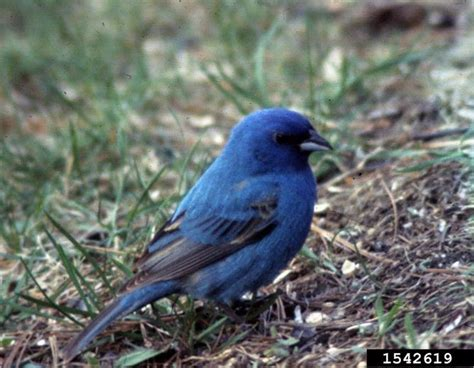 indigo bunting passerina cyanea wildlife journal junior
