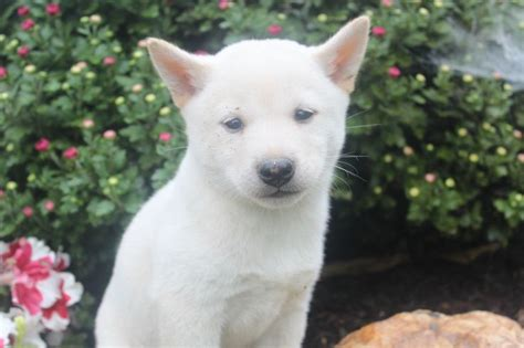 shiba inu puppies for sale in florida 25 best ideas about shiba inu for sale on