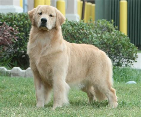 golden retriever standards akc golden retriever standard