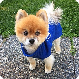 pomeranian rescue bc kamloops bc pomeranian meet cooper a for adoption