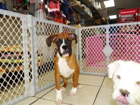 boxer puppies alabama boxer puppies dogs for sale in birmingham alabama al 19breeders huntsville