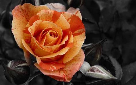 wallpaper 4k rose roses screensavers hd desktop wallpapers 4k hd
