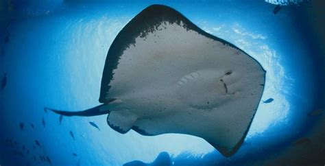 download mp3 gigi ikan laut 7 fakta ikan pari makhluk terbang dari dasar laut satu jam