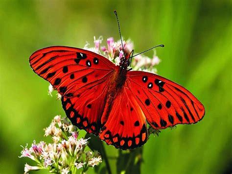 imagenes reales red wings mariposas mensajeras misterio animal misterio animal