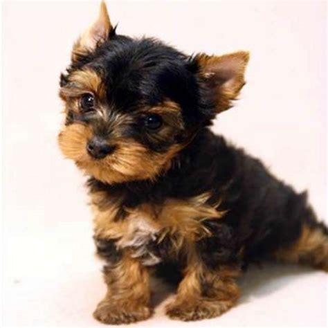 teacup yorkie breeders in teacup terrier puppy images