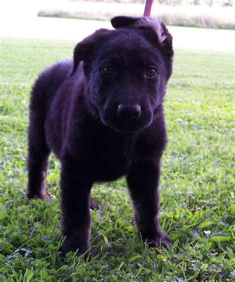 german shepherd puppies wv ayers german shepherd puppies for sale wv picture breeds picture
