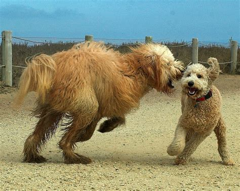 goldendoodle vs golden retriever golden retriever and goldendoodle images