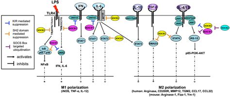 frontiers regulation of interferon gamma frontiers regulation of macrophage dendritic cell and