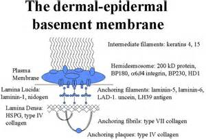 what is a basement membrane structure of epidermal basement membrane best image