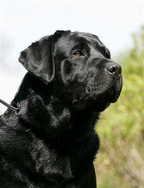 labrador retriever puppies price labrador retriever puppies for sale sai 1 12868 dogs for sale price of puppies