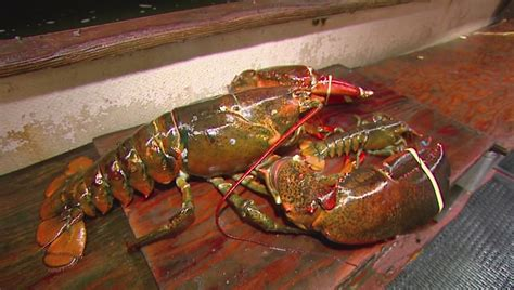 split colored lobster cbs2 meets island s newest a 95 year