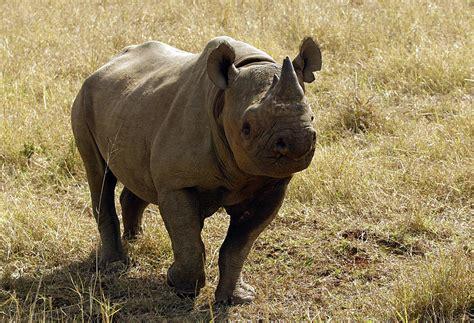 black rhino zimbabwe rare black rhino ntombi put down after poaching
