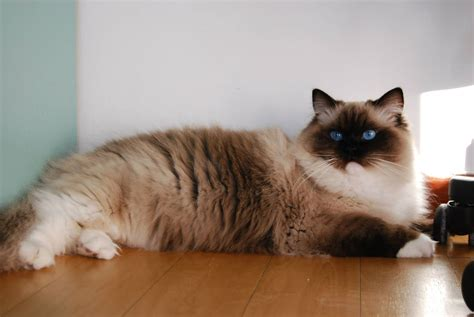 a ragdoll 2 seal mitted ragdoll www pixshark images galleries