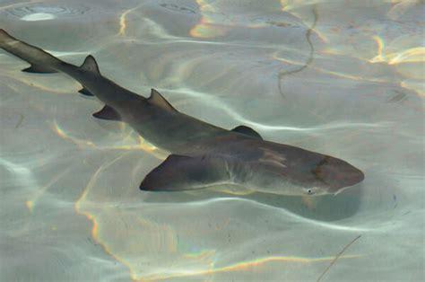 baby shark japan diving in maldives egypt thailand oman japan spain croatia