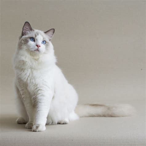 ragdoll white cat 25 best ragdoll cat pictures and photos