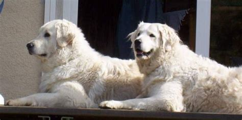 when are golden retrievers fully grown 50 most stunning white golden retriever photos and images