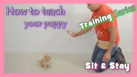 How To Teach Your To Stay The by How To A Puppy To Sit And Stay