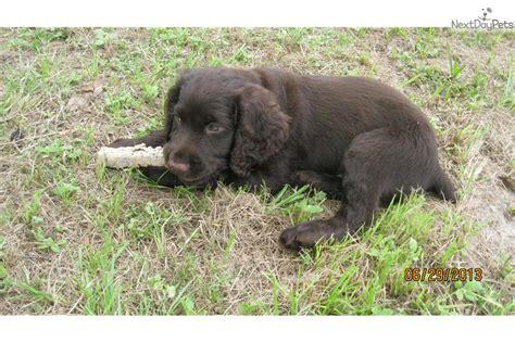 boykin spaniel puppies for sale boykin spaniel puppy for sale near jacksonville florida dc8b0e0e 7c31