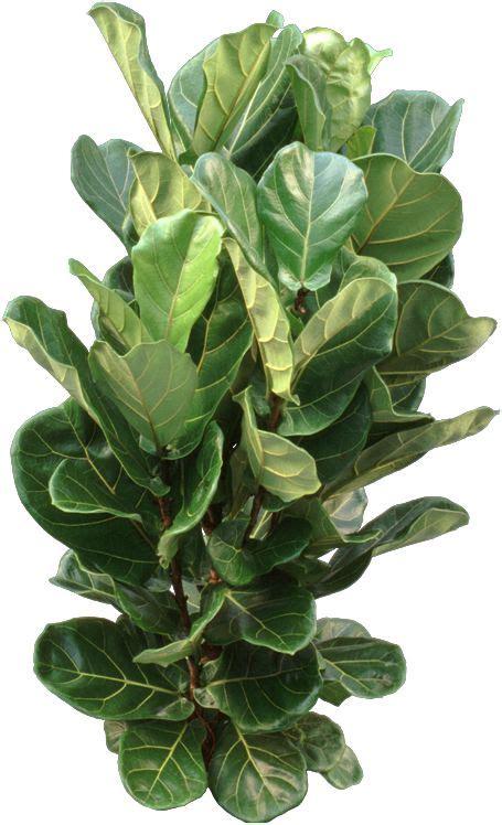 Ficus Lyrata Pflege by Ficus Lyrata Fiddle Leaf Fig Care Plants