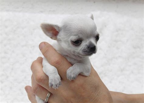 chihuahua puppies rescue micro tiny teacup chihuahua rescue breeds picture