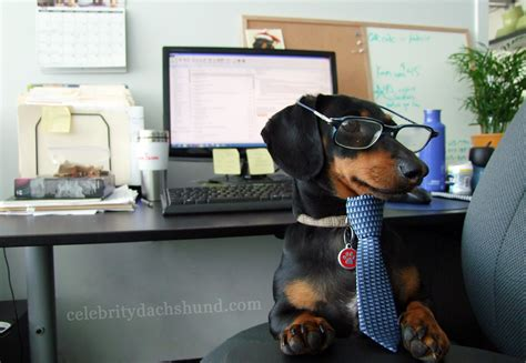 what to do with puppy while at work crusoe goes to the office crusoe the dachshund