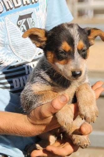 are all puppies born with blue australian cattle cattle dogs and cattle on