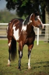 tri color paint american paint paint horses