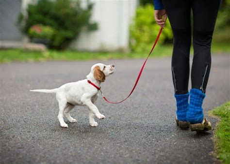 walking puppy image gallery leash a puppy