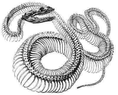 antique engraving graphic snake skeleton  graphics