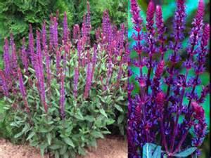 garden plants names and pictures japanese garden plants names botanical name savlia nemorosa carradonna common name sage