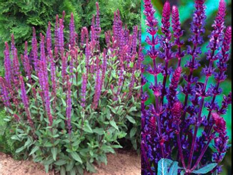 garden plants names and pictures japanese garden plants names botanical name savlia