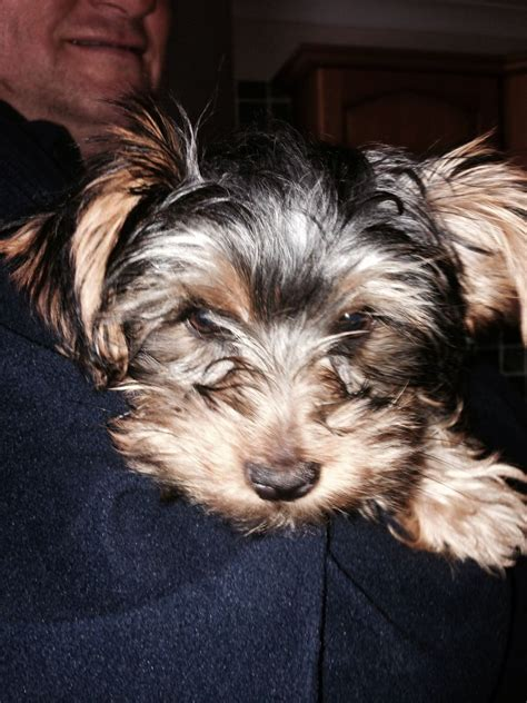 9 month yorkie 8 month yorkie puppies related keywords suggestions 8 month yorkie puppies