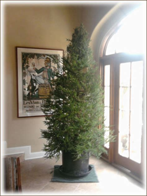living christmas tree rentals live potted christmas trees