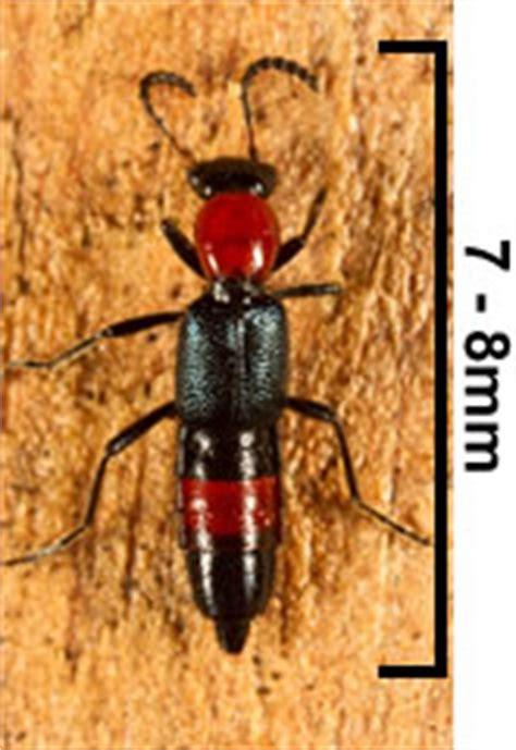 rove beetles fact sheets