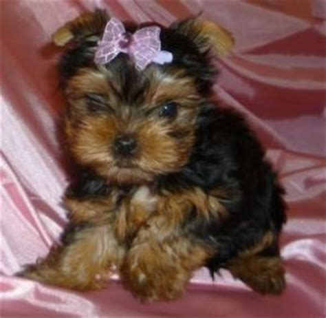 yorkie care information teacup yorkies health care information and facts about teacup yorkie puppies