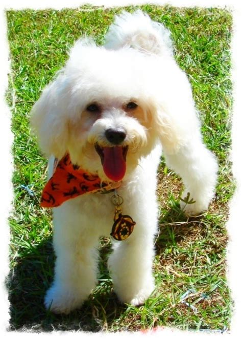 poochon haircuts poochon dudley the cuddly puppy pinterest