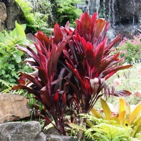 Vertical Garden Online - cordyline fruticosa rubra australian plants online