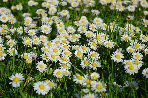 tappeto di fiori margherita tappeto di fiori bianco 183 foto gratis su pixabay