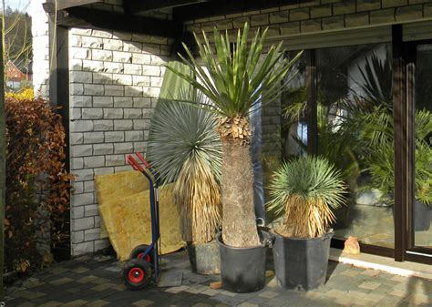 yucca palme für draußen ein kleines yucca update yuccas agaven cordyline