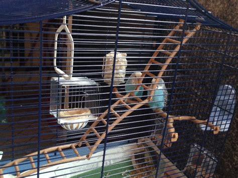 riproduzione cocorite in gabbia riproduzione cocorite cocorite e pappagallini ondulati