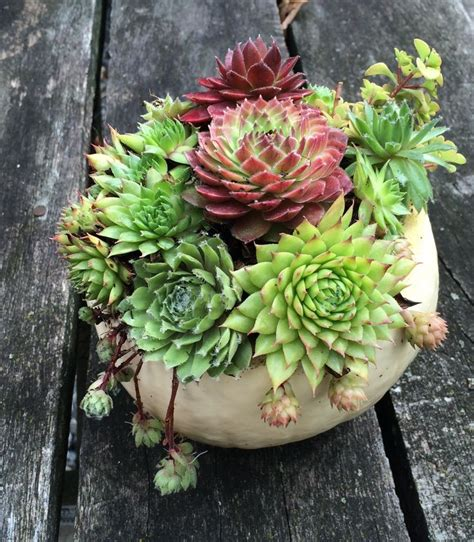 cute succulents cute little succulent pumpkin create your own carve out