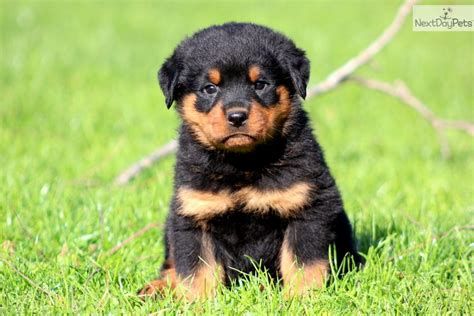 rottweiler puppy rottweiler puppy pics cake ideas and designs