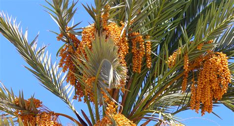 Superb Palm Tree Types #3: Dahab_Egypt_Phoenix_dactylifera.JPG