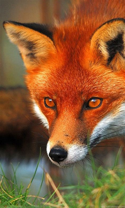 red fox wallpapers high definition animal wallpapers kokeancom desktop background